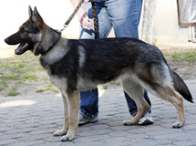 Protection Trained German Shepherds, Etsuko vom GrimOrkie BH