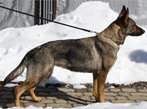 "Protection Trained German Shepherds, Cappas ""Zampa"""