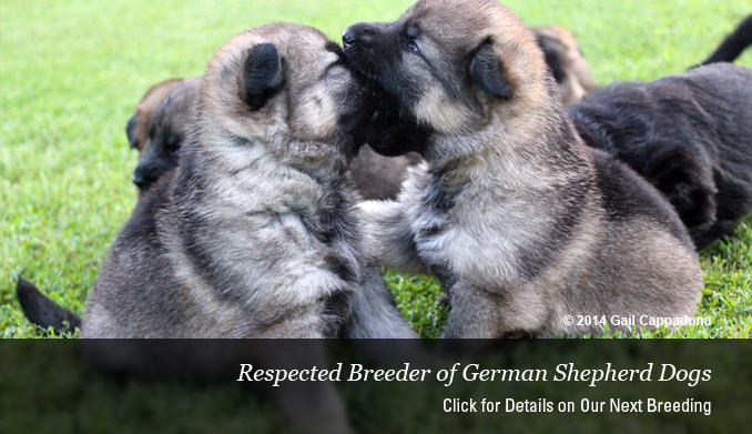 Ghilly, Dog Boarding, Dog Boarding NH, German Shepherd Breeders, German Shepherd Breeders MA, German Shepherd Puppies, German Shepherd Puppies For Sale MA